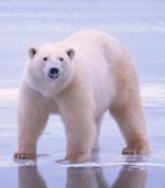 polar_bear_1